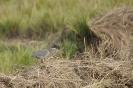 Straited Heron_2