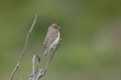 Common rosefinch - Roodmus_1
