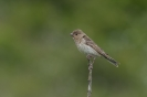 Common rosefinch - Roodmus_2