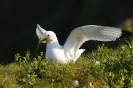 Black-legged kittiwake_1