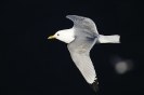 Black-legged kittiwake 2