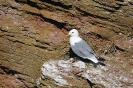 Black-legged kittiwake_3