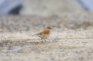 Common linnet_1