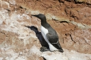 Common murre_1