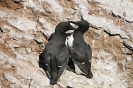 Common murre_3