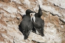 Common murre_4