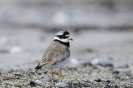 Common ringed plover_1