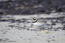 Common ringed plover_4