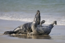 Grey seals_2