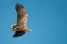 White-tailed eagle - Zeearend_3