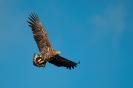 White-tailed eagle - Zeearend_4