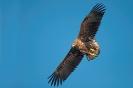 White-tailed eagle - Zeearend_5