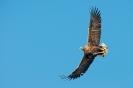 White-tailed eagle - Zeearend_6
